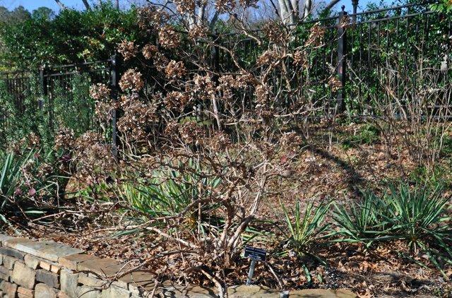 oakleaf hydrangea 1-23-17