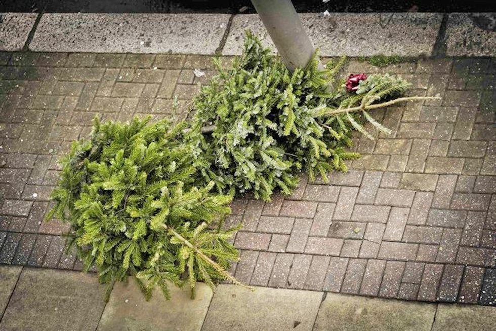 City To Offer Pickup Of Live Christmas Trees
