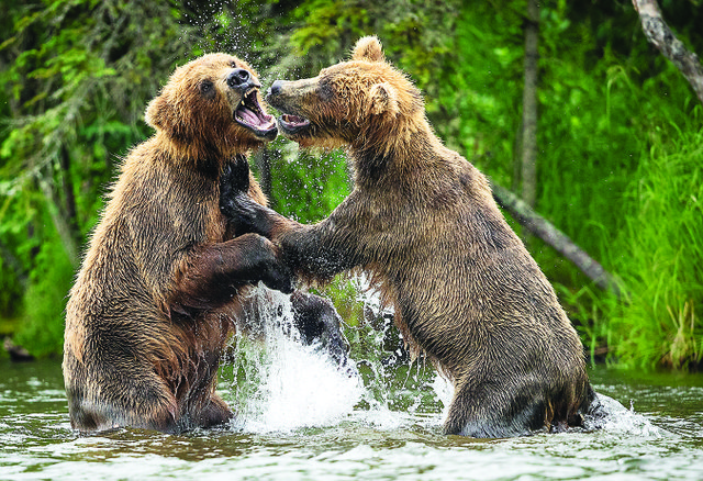 Grizzly Bears photo Lindsay Donald